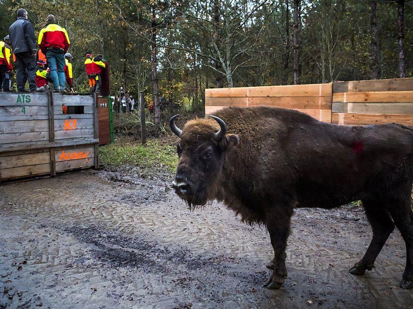 RTS : Disparu depuis huit siècles, le bison d'Europe est de retour en Suisse