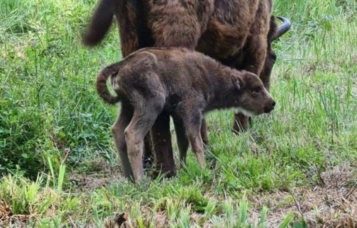 Première historique dans les forêts de Suchy – naissance d'un bisonneau femelle prénommée Sultane