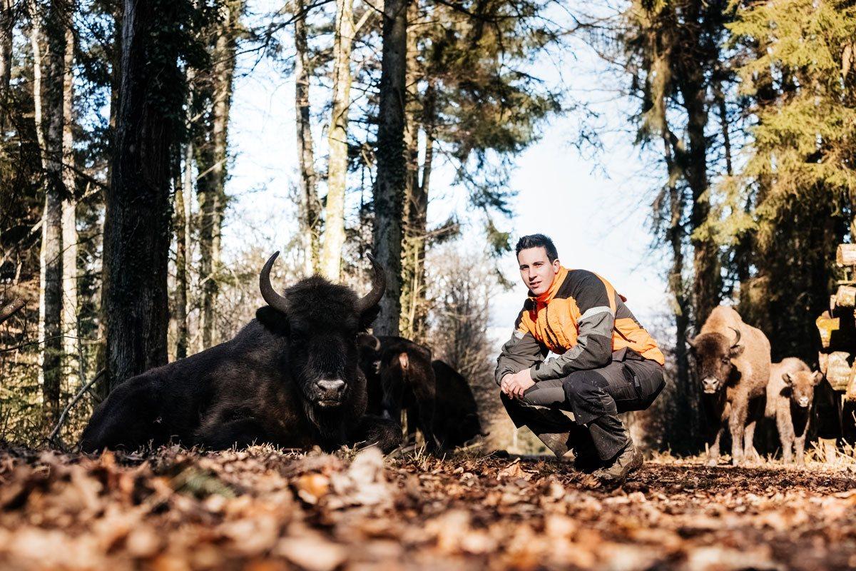 Terre & Nature : Les bisons européens ont pris goût à la vie dans les bois de Suchy