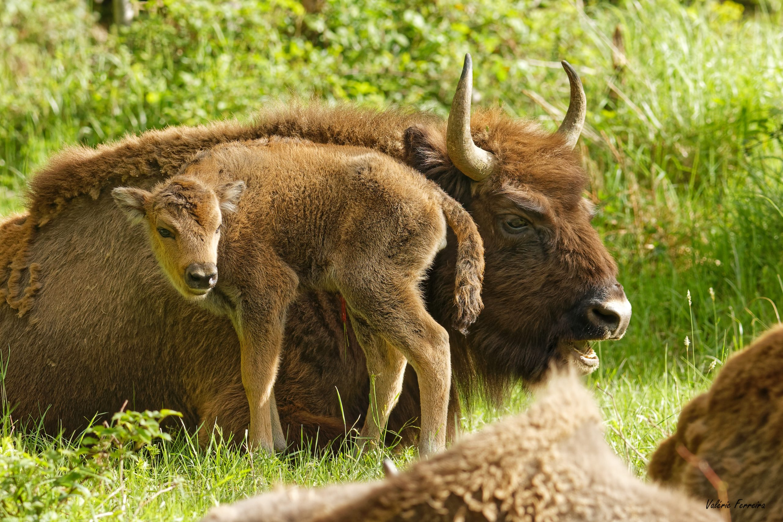 Un bisonneau femelle a pointé le bout de son museau à Suchy
